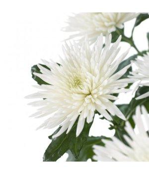 Хризантема одноголовая Анастасия Вайт