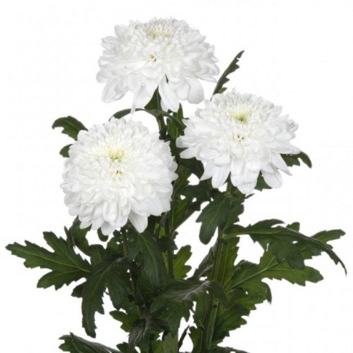 Хризантема одноголовая Зембла Вайт