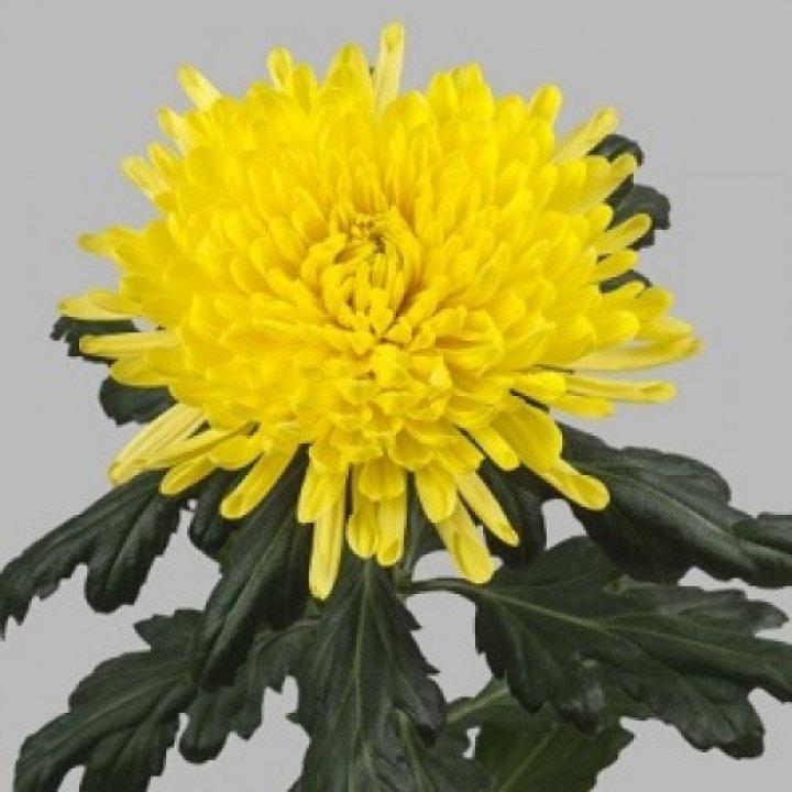 Хризантема одноголовая Петр