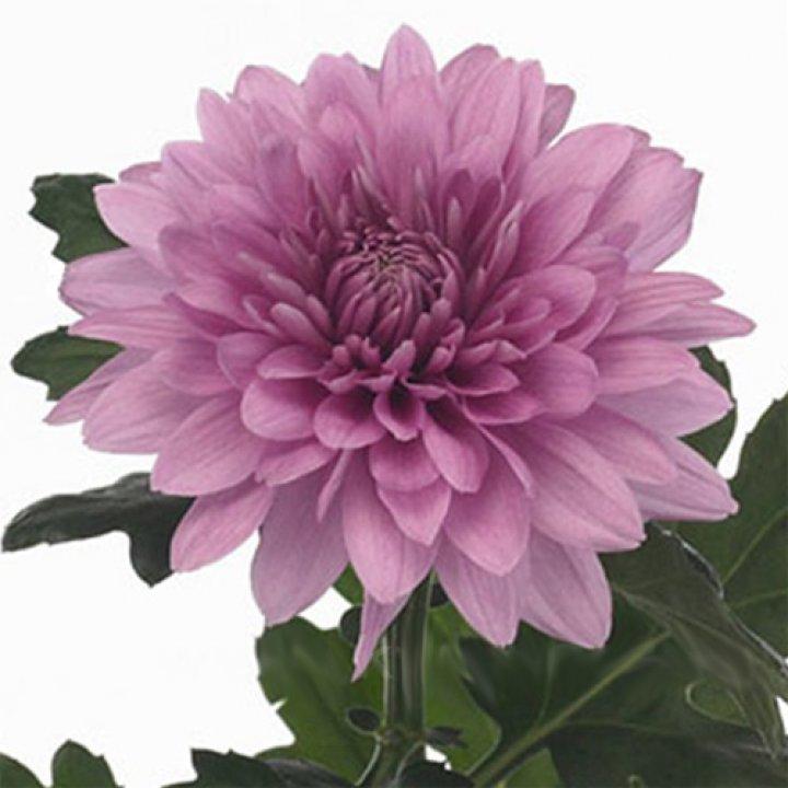 Хризантема одноголовая Резоме Дарк