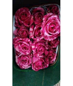 Роза Эквадор 1