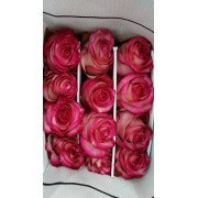 Роза Эквадор 2