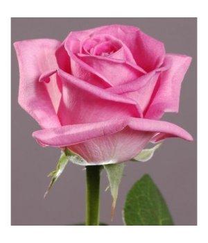 Розы российские Аква