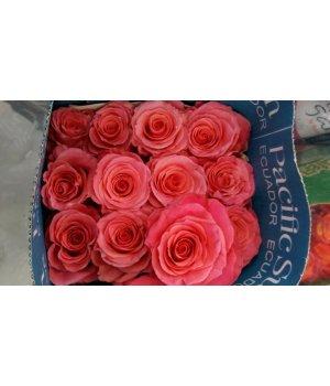 Роза Эквадор Амстердам