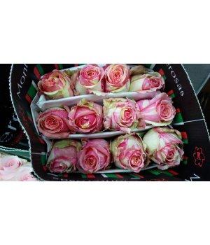 Роза Эквадор Фиеста