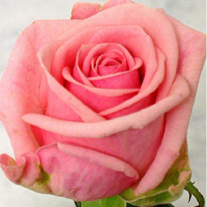 Розы российские Хевен