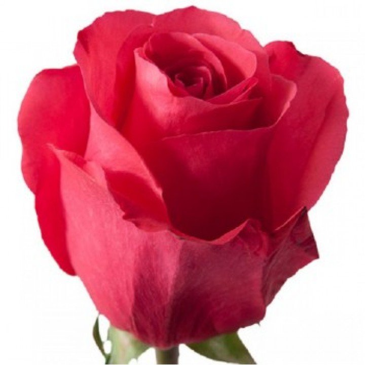 Розы российские Хот Шот