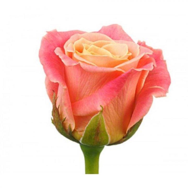 Розы российские Мисс Пигги