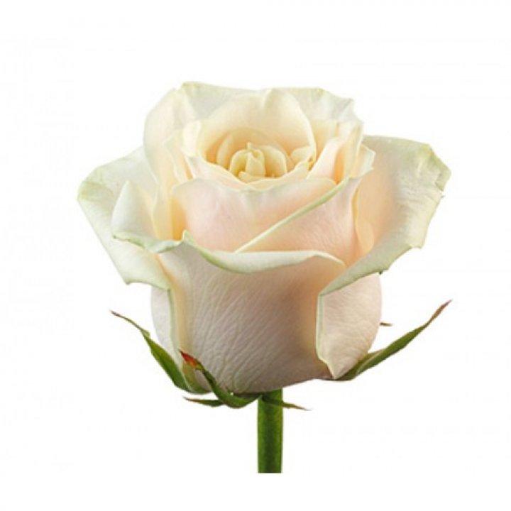 Розы российские Талея
