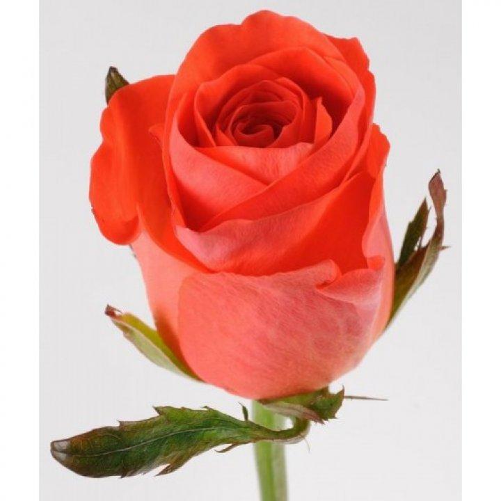 Розы российские Вау
