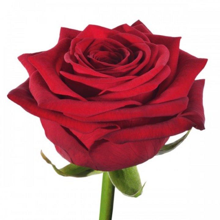 Розы российские Ред Наоми