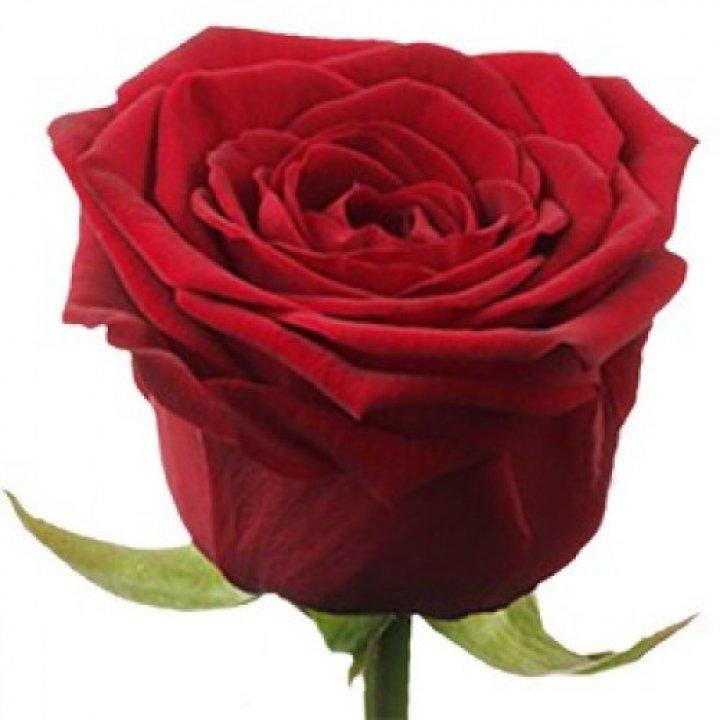 Розы российские Гран-При