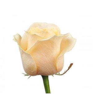 Розы российские Аваланш Пич