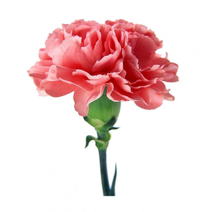 Гвоздика одноголовая красно-розовая