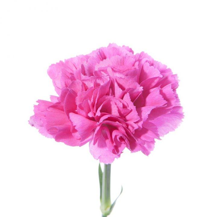 Гвоздика одноголовая ярко-розовая