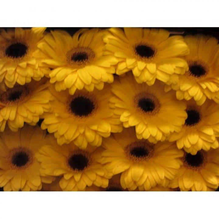 Герберы ярко-желтые